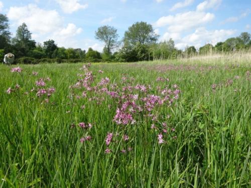 Ragged Robin in Folly meadow