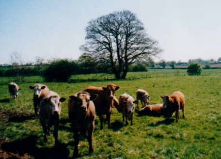 36. 2001 summer Blyth meadow Green's first cattle