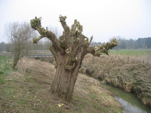 52. pollarded willow