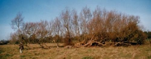 7.1999 Blyth meadow fallen willows
