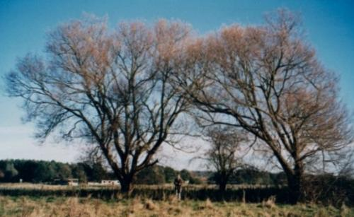 8.1999 Blyth meadow willows by New Reach